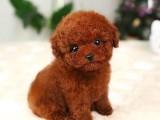 兰州哪有泰迪犬卖 兰州泰迪犬价格 兰州泰迪犬多少钱