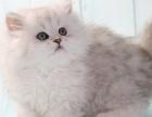 专业繁殖 高品质低价位 金吉拉幼猫 签订协议 质保三年