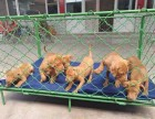 比特犬多少钱 精品比特犬2~4个月纯血幼犬出售
