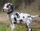 自家大狗生的一窝斑点狗可以来家里看大狗品相