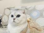 北京自家养英短渐层小猫开始预订了