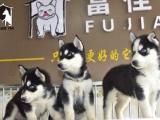 济南出售 纯种哈士奇幼犬 疫苗齐全出售中 可签协议健康保障
