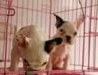 可爱斗牛犬 保纯种 三针疫苗齐全 健康血统有保障