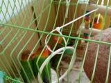绿色牡丹鹦鹉