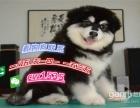 出售纯种阿拉斯加犬幼犬活体家养雪撬犬灰桃阿拉斯加幼犬宠物狗狗