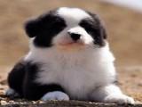 上海里有卖漂亮边境犬 全到位边境牧羊犬幼犬可视频选购