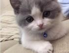 宠物豹猫价格 淘宝店铺搜:双飞猫