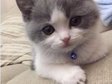 宠物豹猫价格 店铺搜:双飞猫