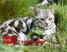 江门哪里有卖美国短毛猫价格多少纯种美短小猫咪价钱