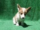 柯基犬宝宝 随时看狗 多窝选择 疫苗齐全
