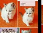2个月布偶猫都是母的,找新家