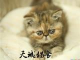 纯种加菲猫,猫舍繁殖,健康纯种,品质保障