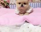 胖嘟嘟的脸蛋 圆乎乎的身材 外表乖乖的博美幼犬出售