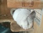 忍痛割爱一只母银斑龙猫 两岁