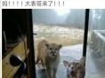 出售自家养的英国短毛猫--蓝猫。