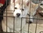 哈士奇雪橇犬三个月 驱虫疫苗已做完 购买签订活体协