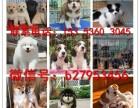 郑州犬舍对外售卖柴犬 柴犬图片 买柴犬价格