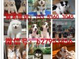 南通犬舍对外售卖雪纳瑞犬 雪纳瑞犬图片 买雪纳瑞犬价格