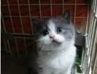 出售英国短毛蓝白猫DM幼猫宠物猫崽 活体自家繁育级英短奶猫