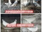 白羽王鸽、落地王元宝鸽、两头乌、两头红、点子鸽、摩登娜鸽等等