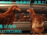 青年鸡,青年鸡价格