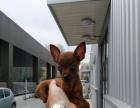 出售爆红色小鹿犬