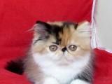 纯种 赛级 波斯猫 北京实体猫舍 专业繁殖 多窝可选