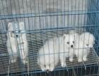 珠海哪里有银狐卖?精品银狐犬,包纯种,签协议送用品