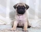 重庆哪家宠物店好 重庆巴哥犬哪里有卖 重庆巴哥犬多少钱