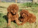 桂林出售泰迪犬,疫苗驱虫已做,可