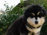 养殖场直销一出售巨型阿拉幼犬一包养活签协议一送用品
