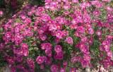优质荷兰菊价格——潍坊具有口碑的荷兰菊供应