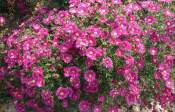潍坊物超所值的荷兰菊供应|山东荷兰菊供应商