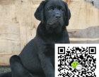 拉布拉多大概多少钱 哪里出售拉布拉多幼犬 拉布拉多图片
