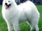 出售纯种萨摩耶犬 萨摩耶幼犬 品质好信誉高质量保