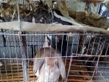 松鼠仓鼠金丝熊荷兰猪观赏鸟观赏鱼观赏鸡