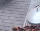 纯种巴马香猪出售种猪仔猪宠物猪