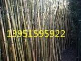 3米高黄金竹紫竹金镶玉竹质优价廉快递全国