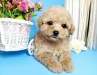 泰迪,贵宾 学校可以养的狗狗