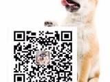 极品金毛幼犬 体形均称 品质超好 质量终身保证