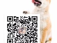华昇犬舍直销纯种健康可爱的泰迪 血统终身保障