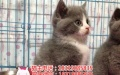 英国短毛蓝白 蓝白英短猫 蓝白猫 折耳猫 蓝猫