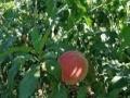 采摘蜜桃 怀柔桥梓九樨庄园 纯天然绿色有机食品