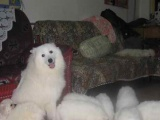 一窝纯种萨摩耶狗狗出售可小砍 自己家生的