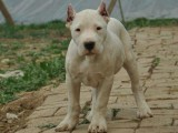杜高幼犬均有出售 纯种健康有保障