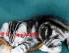 家养蓝猫 美国短毛猫 折耳猫 金吉拉银渐层