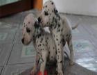 纯种斑点狗哪里有买放心犬舍在哪里