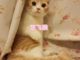 杭州南京苏州宁波加菲金吉拉豹蓝暹罗无毛猫价位 双飞猫