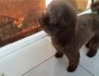 郑州养殖基地直销柯基犬,,泰迪犬,金毛犬,博美犬,等多品种