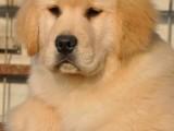 毛色纯正可爱活泼的金毛犬找新主人 东莞市内可送货